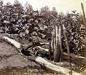 Cinchona bark