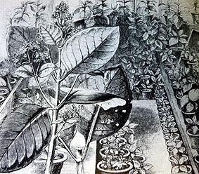 Cinchona in greenhouse