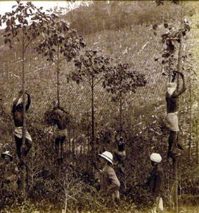 Harvesting cinchona