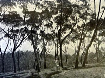 Ledgeriana trees