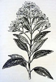 Pencil drawing of cinchona plant