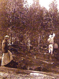 Harvesting cinchona 2