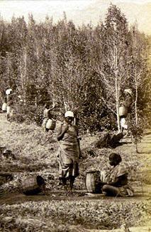 Harvesting cinchona 3