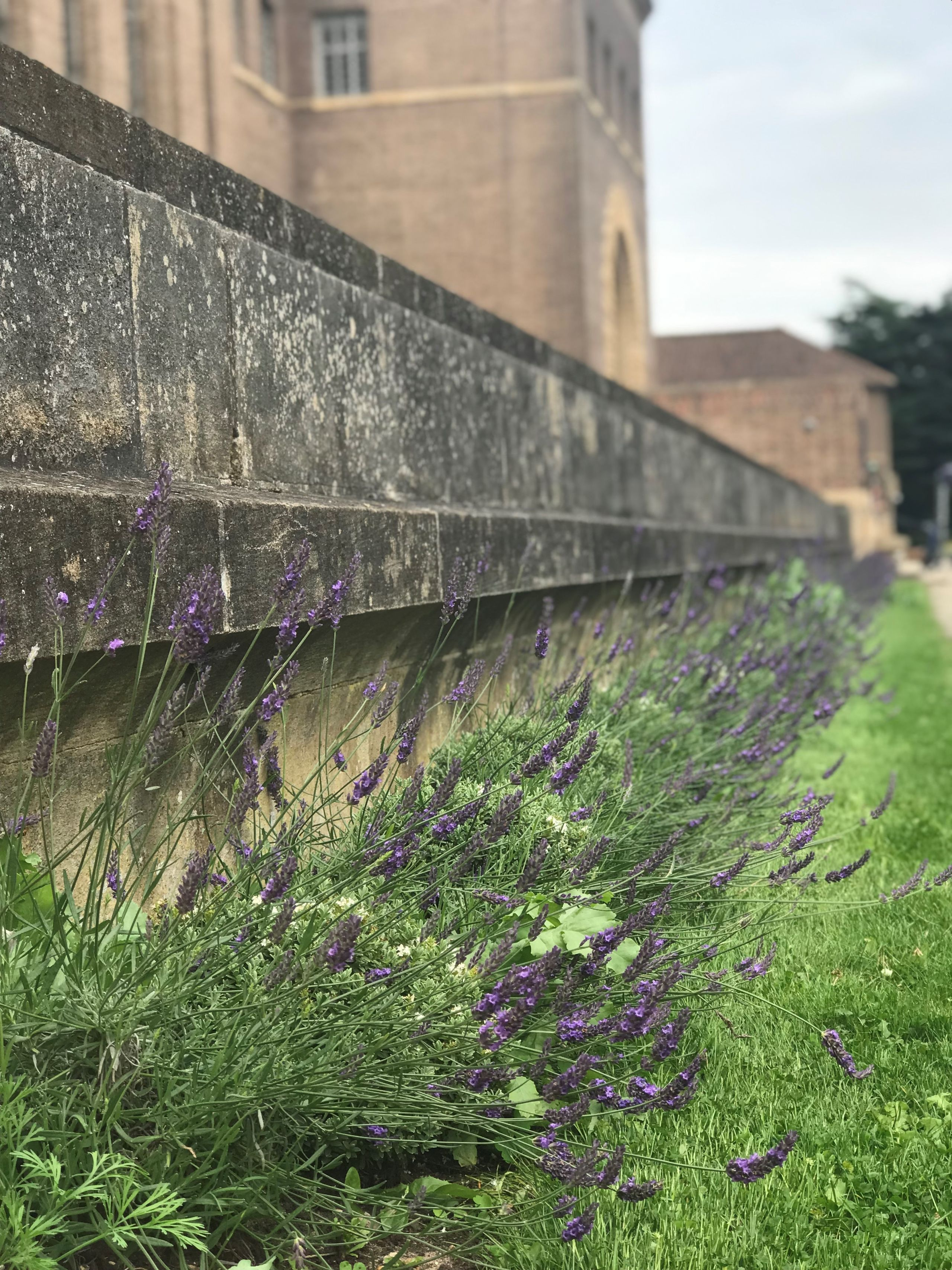Lavender outside the University Library